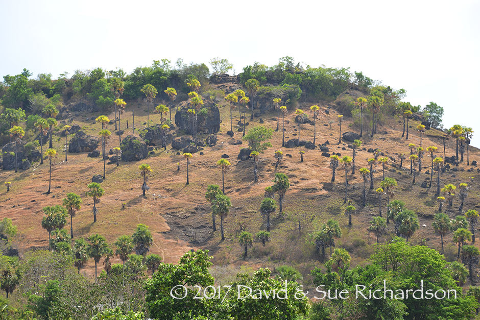 Description: Koli palms on a Kisar hillside